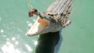 Crocodile eating fish video
