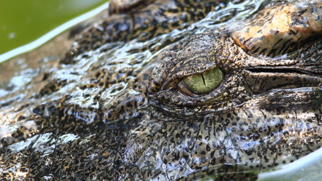Crocodile eye video