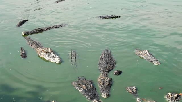 Crocodile multiple sleep in water video