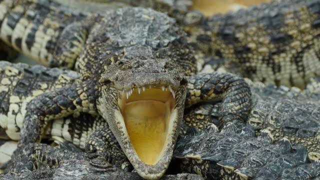 Crocodile opened its mouth on the farm. video