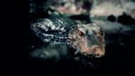 Crocodile resting in the riverside video