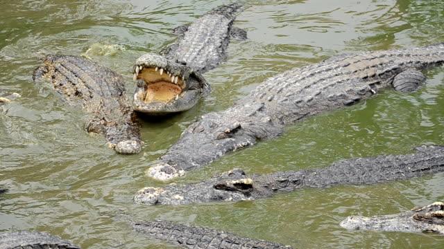 Crocodile. video