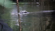 Crocodile video