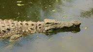 Crocodile video