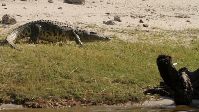 Crocodile walks into river video