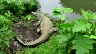 Crocodile Wild Animal Reptile Wildlife In Zoological Gardens Costa Rica video