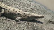 Crocodile yawn video