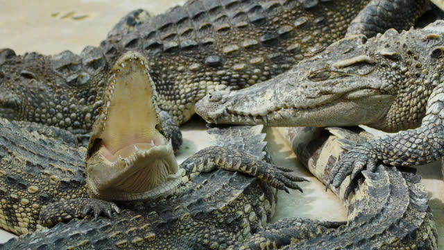 Crocodile Yawning. video