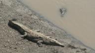 Crocodiles in the shore video