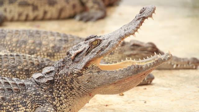 Crocodiles video