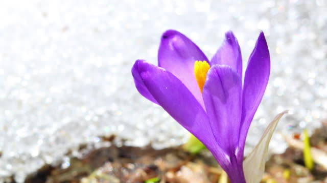 Crocus and melting show 4K video