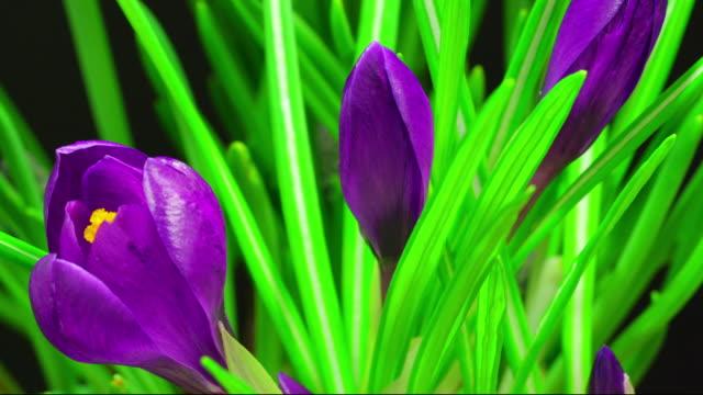 Crocus Blooming time lapse 4K video