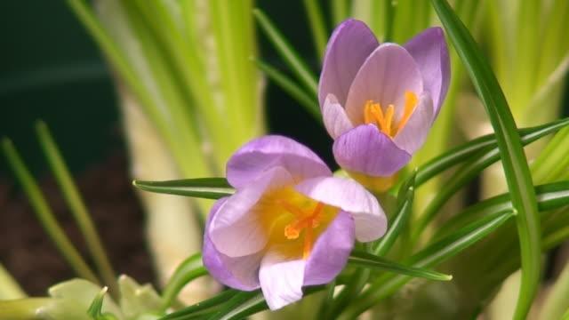 Crocus flower blooming video