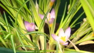 Crocus flower blooming video