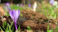 Crocus flowers in french Alps video