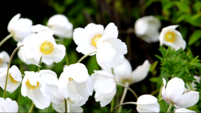crocus flowers in the wind video