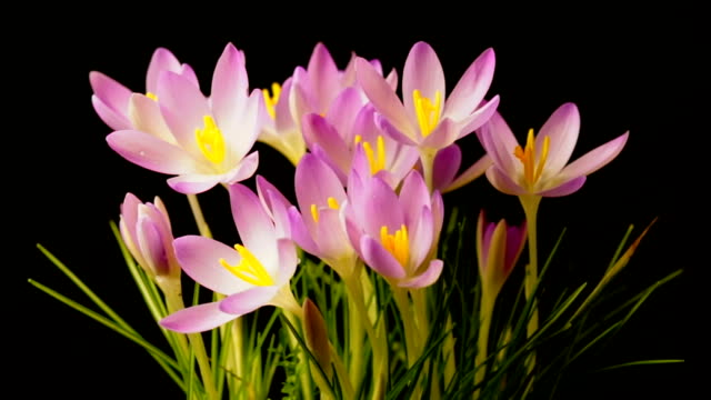 Crocus Flowers Open to The Morning Light Very Quickly video