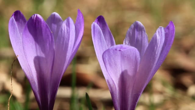 Crocus macro shot HD video