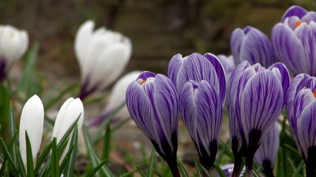 Crocus - purple and white video