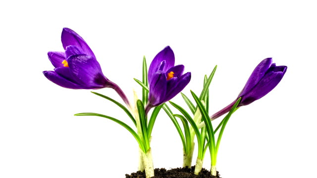 Crocuses in bloom on white background. Time lapse. video