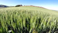 Crops of fields of wheat close up video