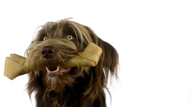 Crossbreed dog holding a bone in its mouth video
