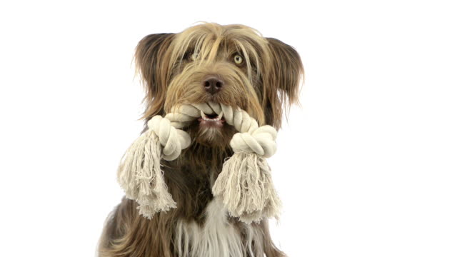 Crossbreed dog holding a rope in its mouth video