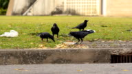 crow eat and fly video