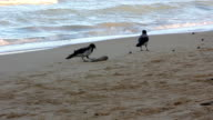 Crow eating dead fish on the seashore video