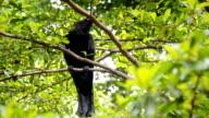 crow is suspicious. video