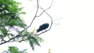 Crow on the tree. video