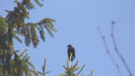 Crow on Top of Tree video
