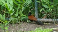 Crow pheasant bird and rat video