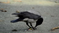 Crow playing video