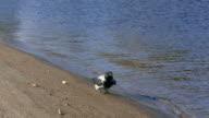 Crow search food on sandy riverside beach video