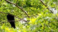 crow shy video