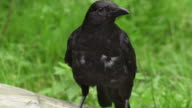 SLOW MOTION: Crow video