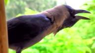 Crow video