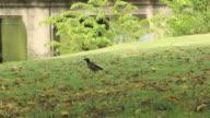 Crow walking on grass video