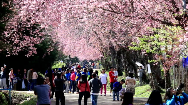 crowd and tourist enjoy in spring cherry blossoms video