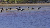 Crowd of crows search food on riverside beach video