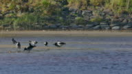 Crowd of crows search food on sandy riverside beach video