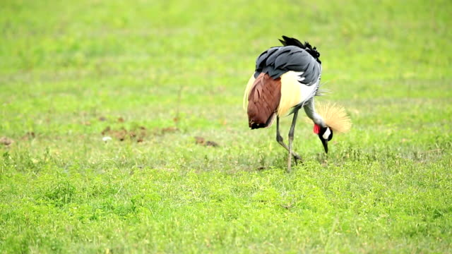 crowned crane video