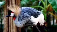 crowned crane video