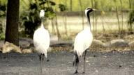 crowned cranes video