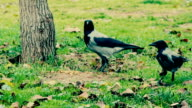Crows Are Feeding With Peanuts video
