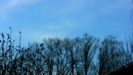 Crows gathering in the trees video