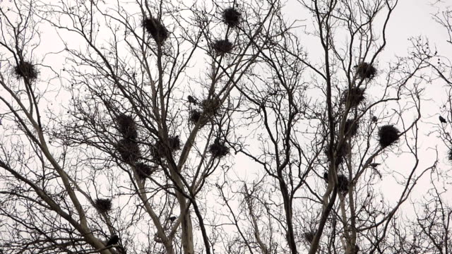 Crows in nests on tree video