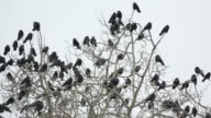 Crows on tree video