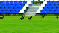 Crows Sitting on Green Lawn of Empty Football Field With Blue Benches video